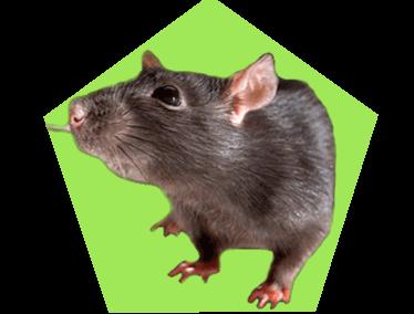 Изображена крыса в зеленом пятиугольнике