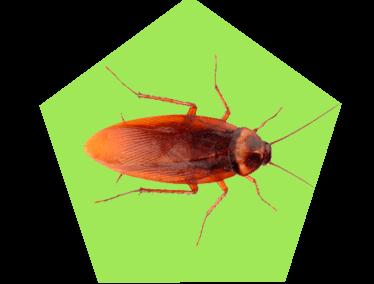 Картинка таракан рыжего цвета