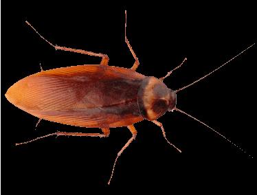 Картинка большой рыжий Таракан
